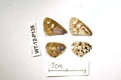 WT-12-P135 Azanus natalensis (lepdatabase) Tags: kenya lycaenidae polyommatinae natalensis polyommatini azanus