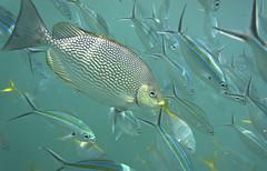DSC09171 (andrewlorenzlong) Tags: fish thailand snorkeling kohchang kohrang kohrangyai korangyai