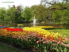Dutch Tulips, Keukenhof Gardens, Holland - 0682 (HereIsTom - Busy moving!) Tags: travel flowers flower holland nature netherlands dutch gardens garden spring europe colours tulips sony cybershot olympus potd tulip bloom keukenhof webshots e500 f505