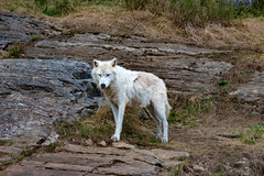Loup Arctique (thanh_geneva) Tags: parc park parcomega ontario canada nature animal fort forest