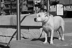 Waiting for Master (Aviator195) Tags: monochrome monochromatic blackandwhite greyscale grayscale dog canine doggy pitbull nikon nikond7100 d7100 manly manlybeach northernbeaches sydney pet surf surfer owner winter