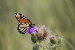DSC_0042 (RYANinHD_87) Tags: maine hermit island campground monarch butterfly thistle dunes grass seagrass sanddunes sand sandunes dunegrass