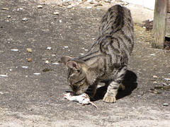 Oh, it smells good....but he didn't eat it either (elisabeth.mcghee) Tags: maus mouse cat kater getigert