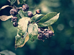 2016-08-21_15-31-04 (torstenbehrens) Tags: fruit nature bokeh panasonic dmcg1 on1 on1pic