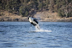 Orca Whale Breaching (Nick - n2photography) Tags: orca whale pacific nw northwest whalewatching breach beautiful nature mammal color jump gotit freewilly breachingwhale canon5dsr canon canon7020028isii zoom highmegapixels boat ocean trip fun handheld