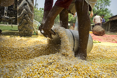 Farm worker Bharat Saud gathers maize as it comes out of a shelling machine powered by 4WT in Rambasti, Kanchanpur. (CIMMYT) Tags: nepal csisa cimmyt maize agriculture smallholder farmer mechanization asia