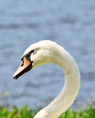 A swan (t.samchar) Tags: swan curve bird lake