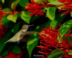 Hummingbird ! (backup1940) Tags: sony backup1940 katytexas bird hummingbirdbush wowiekazowie