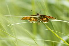 Les barres parallles (Mariette80) Tags: papillon mlite isre