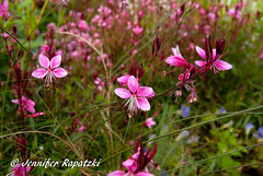 Geranium macrorrhizum in rosa (Bernsteindrache7) Tags: summer spring sony 100 alpha flora fauna flower bloom blossom blume landscape outdoor park pink