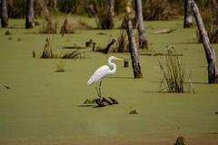 Oxley Egret (brev99) Tags: egret oxleynaturecenter pond duckweed green water trees stumps d7100 tamron70300vc dxooptics8 cacorrection white bird whitebird highqualityanimals ngc tulsa oklahoma