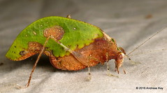 Pycnopalpa bicordata (Ecuador Megadiverso) Tags: book camouflage deadleafkatydid flickr grasshopper katydid loscedros mimicry orthoptera phaneropterinae pycnopalpabicordata tettigoniidae andreaskay ecuador