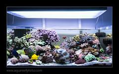 STETensemble7161_160616 (kactusficus) Tags: marine aquarium reef tank home coral clam benitier tridacna