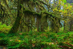 Moos tree - Olympic National Park (Sinar84 - www.captures.ch) Tags: 2016 black blue day fall foliage forest galaxy gray green hoh hohrainforest landscape moos nationalpark nature olympic olympicnationalpark orange peninsula perfect rain red september sky travel trees trip usa violet water white