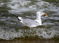 A seagull finds a crab in the Atlantic Ocean off Manasquan Beach. (apardavila) Tags: atlanticocean bird crab jerseyshore manasquan manasquanbeach seagull
