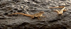 Me and my friend (Marian Pollock (Weiler)) Tags: hawaii maui gecko rock water two sunset reptiles small