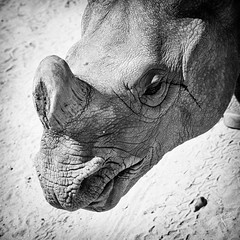 Rhino (GavinZ) Tags: animals safaripark sandiego zoo blackandwhite bw rhino square nature