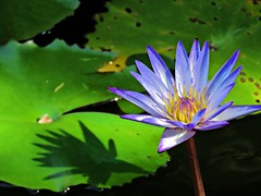 morning lily (oneroadlucky) Tags: nature plant flower purple lotus waterlily
