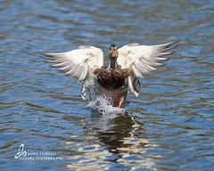 Angel Wings (mtetcher) Tags: lake bird nature animal sandiego wildlife ducks mallard santee nikonsigma 120400mm nikond300s highqualityanimals