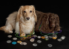Mardi Gras Dogs (Doxieone) Tags: party two dog brown holiday english dogs beads coin nikon coins chocolate pair cream dachshund event bead gras mardigras speedlight mardi longhaired louisana sb800 d90 doubloons strobist sb80 ddate