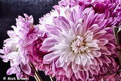 Chrysanthemums-4742_HDR (mick99c) Tags: flowers stilllife macro lavender chrysanthemum hdr sigma50mmf28