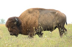 Iowa bison and prairie @ Neal Smith NWR (cl.lin) Tags: nature buffalo nikon midwest wildlife sigma iowa prairie bison grazing tallgrass nationalwildliferefuge nwr americanbison americanbuffalo nealsmith d7000
