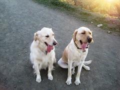 7915352364 1573fd6f97 m Hercules, Photos of my fun Yellow Labrador