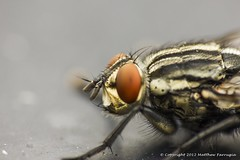 Flesh Fly (Sarcophaga Carnaria) Head (CentricMalteser) Tags: macro eye animal animals flesh canon insect eos rebel fly kiss matthew wildlife september peterborough cambridgeshire x4 2012 eosrebel invertebrate invertebrates macrophotography sarcophagacarnaria sarcophaga fleshfly dcr250 raynox carnaria farrugia wildlifeanimals 550d raynoxdcr250 wildlifeanimal t2i eoskissx4 canon550d september2012 rebelt2i kissx4 eosrebelt2i eosx4 eost2i eyenaturereserve matthewfarrugia centricmalteser