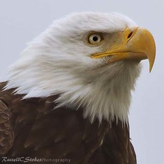Bald Eagle (Schooksonruss) Tags: wild bird power eagle symbol baldeagle hunter powerful haliaeetusleucocephalus blueribbonwinner schooksonruss northernoregon russellcstokes