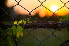 Entwined (Fence & Vine) HFF, Dalaman (flatworldsedge) Tags: sunset fence turkey bokeh vine backlit crisscross dalaman hff yahoo:yourpictures=time2013 yahoo:yourpictures=heat