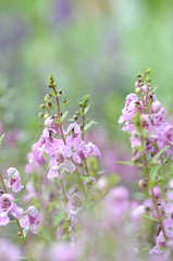 angelonia (snowshoe hare*(back and slowly catching up)) Tags: flowers botanicalgarden angelonia dsc9871