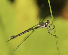 Female Great Spreadwing Damselfly (milesizz) Tags: wisconsin female milwaukee damselfly wi spreadwing odonata lestidae archilestesgrandis greatspreadwing