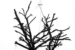 (eflon) Tags: bw tree contrast dead high branches antenna