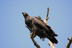 Juvenile Bald Eagle (K Fletcher) Tags: canada calgary bird eagle bald raptor alberta juvenile