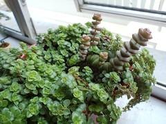 Suculenta (Nina Salman) Tags: cactus plant planta cacti succulent vermelho janela sedum succulents cozinha suculent suculenta plantinha  kactus