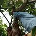Escalando árvores p/ ver a cremação do alto