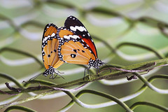 Plain Tigers :  Good Vibrations . . . (Clement Tang ** Busy **) Tags: travel autumn nature butterfly insect hongkong wildlife lepidoptera mating newterritories macrophotography cabbagewhite plaintiger danausgenutia fungyuenbutterflyreserve specinsect concordians