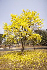 Serie com o Ipe-amarelo em Brasilia, Brasil - Series with the Trumpet tree, Golden Trumpet Tree, Pau D'arco or Tabebuia in Brasilia, Brazil - 13-09-2012 - IMG_5101_2 (Flvio Cruvinel Brando) Tags: flowers trees brazil plants naturaleza plant flores flower color tree planta nature yellow braslia brasil cores plantas natureza flor amarelo ip series rvore cor srie rvores amarela colorida coloridas tabebuia trumpettree ipamarelo sries goldentrumpettree arbl paudarco tabebuiachrysantha flviobrando