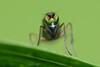 Slankpootvlieg (Dolichopodidae)/Long legged fly (stormchaseroosteeklo) Tags: macro nature closeup insect fly eyes nikon natuur ogen longleggedfly facets diptera vlieg facet dolichopodid dolichopodidae rieme roofvlieg macrolife photographyforrecreation d3100 slankpootvlieg me2youphotographylevel2 me2youphotographylevel1 unlimitedinsectslevel1 unlimitedinsectslevel2 unlimitedinsectslevel3 unlimitedinsectslevel4 unlimitedinsectslevel5