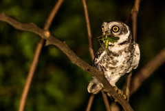 Spotted Owlet (BehzadJL) Tags: india bird nature wildlife behzad spottedowlet athenebrama behzadlarry
