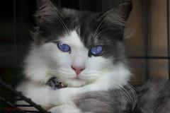 Mr Cool (RIP) (sydbad) Tags: pet white color animals cat canon fun photography eos photo asia bobo ii di 5d siberian 70300mm tamron vc mk usd mrcool f456
