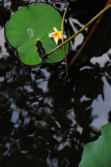 Lotus  (MelindaChan ^..^) Tags: shadow reflection green water stem lotus plumeria shade frangipani macau      leavef melindachan
