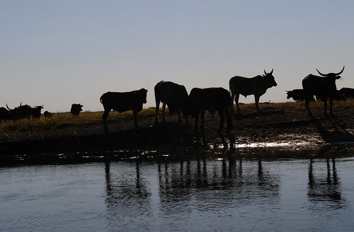 Livestocks on the Barotse Floodplain, Zambia. Photo by Georgina Smith, 2012.