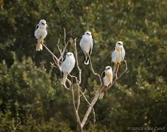 Take Five (alicecahill) Tags: california ca wild usa white bird nature animal five branches raptor centralcoast habitat slocounty perching whitetailedkite