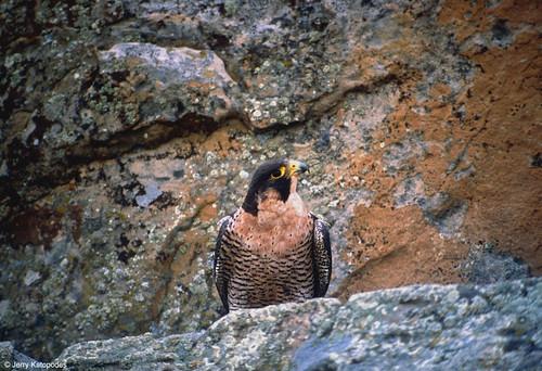 Photo - Peregrine Falcon