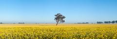 Field of Gold (Bruce_Hood) Tags: panorama tree yellow fog rural landscape golden nikon farm pano australia panoramic nsw newsouthwales clearsky canola canowindra cowra brucehood