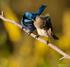 You're Looking Beautiful!! (heathth) Tags: nature birds wings albany creature westernaustralia nationalgeographic fairywren bluewren splendidfairywren endaemicbirds