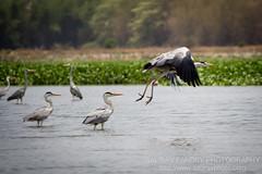 One flew away (Saurav Pandey) Tags: india lake bird heron nature birds bangalore karnataka madiwala madiwalalake