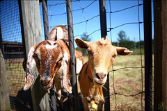 Tweedle dee and tweedle dum | HFF! (i ea sars) Tags: goat goats baby petting zoo pettingzoo farm apple orchard animal pet pets happy midwest canoneos5d canon5d 2470mm 2470l canonef2470mmf28lusm ef2470mmf28lusm illinois america highqualityanimals canon 5d granja fazenda farma bauernhof ferme fattoria koza zvire zvirata zver    ziegen ziege vieh livestock rural agriculture farming midwestern ganado fence yard garden backyard field gate fenced gated area outdoors nature fields meadow calf face shadows sombra shadow sunshine sunny sun farmanimals fall autumn wire wirefence faces curious