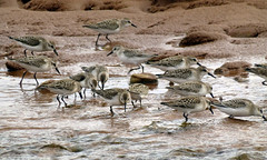 Semipalmated Sandpipers (gmspanek) Tags: sandpiper semipalmated